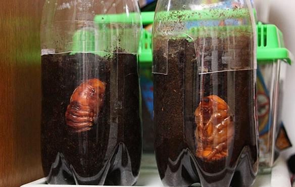 カブトムシ 幼虫 ボトル
